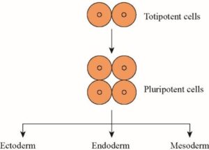 Difference Between Totipotency and Pluripotency in Plants