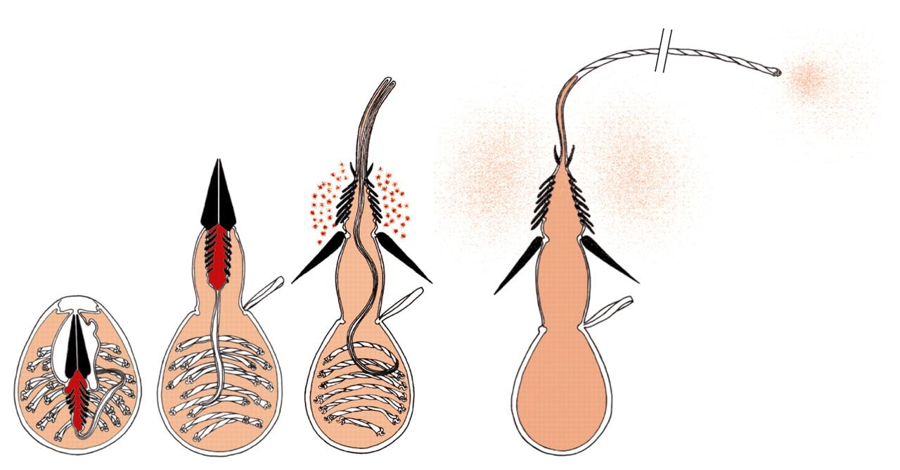 Cnidocytes and nematocysts