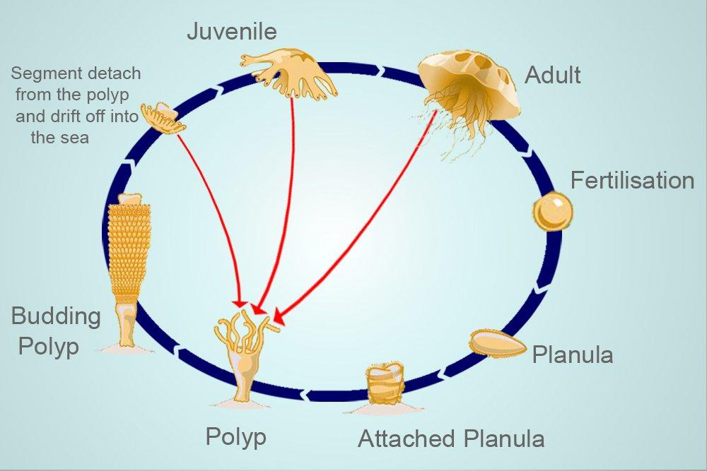 Turritopsis dohrnii jellyfish lifespan