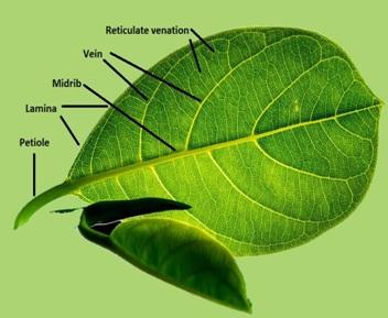 Reticulate Venation