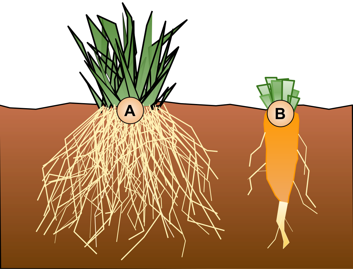 Difference Between Taproot and Fibrous Root q Difference Between Taproot and Fibrous Root