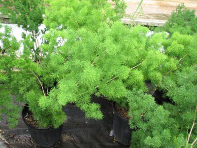 Asparagus Macowanii Ming Fern