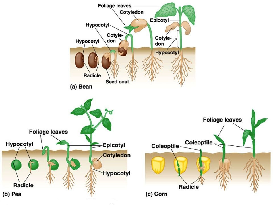 Difference Between Epicotyl and Hypocotyl