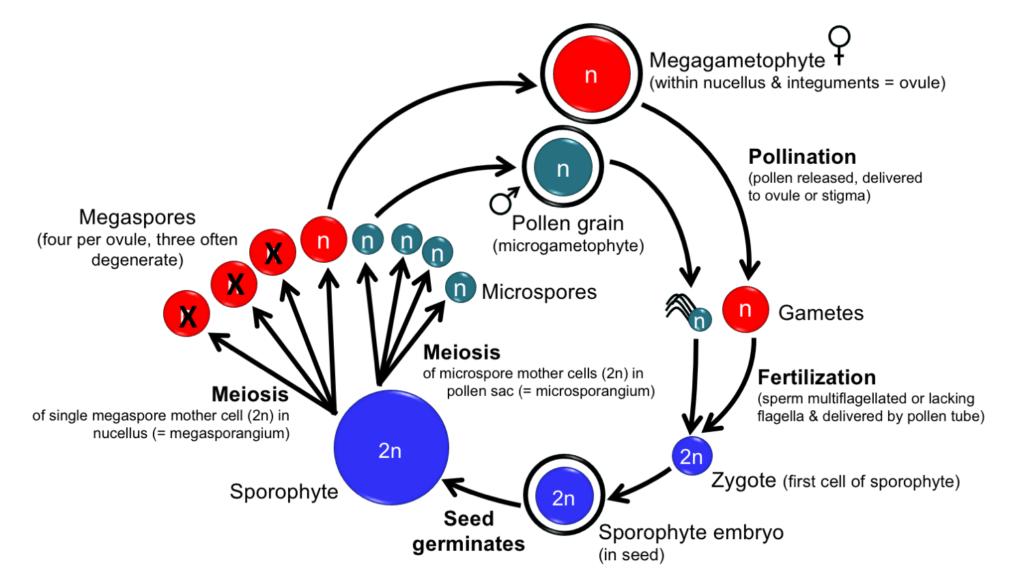 Homosporous vs Heterosporous Plants