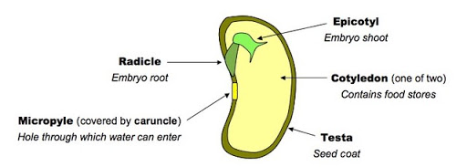 Function of Micropyle in Seed