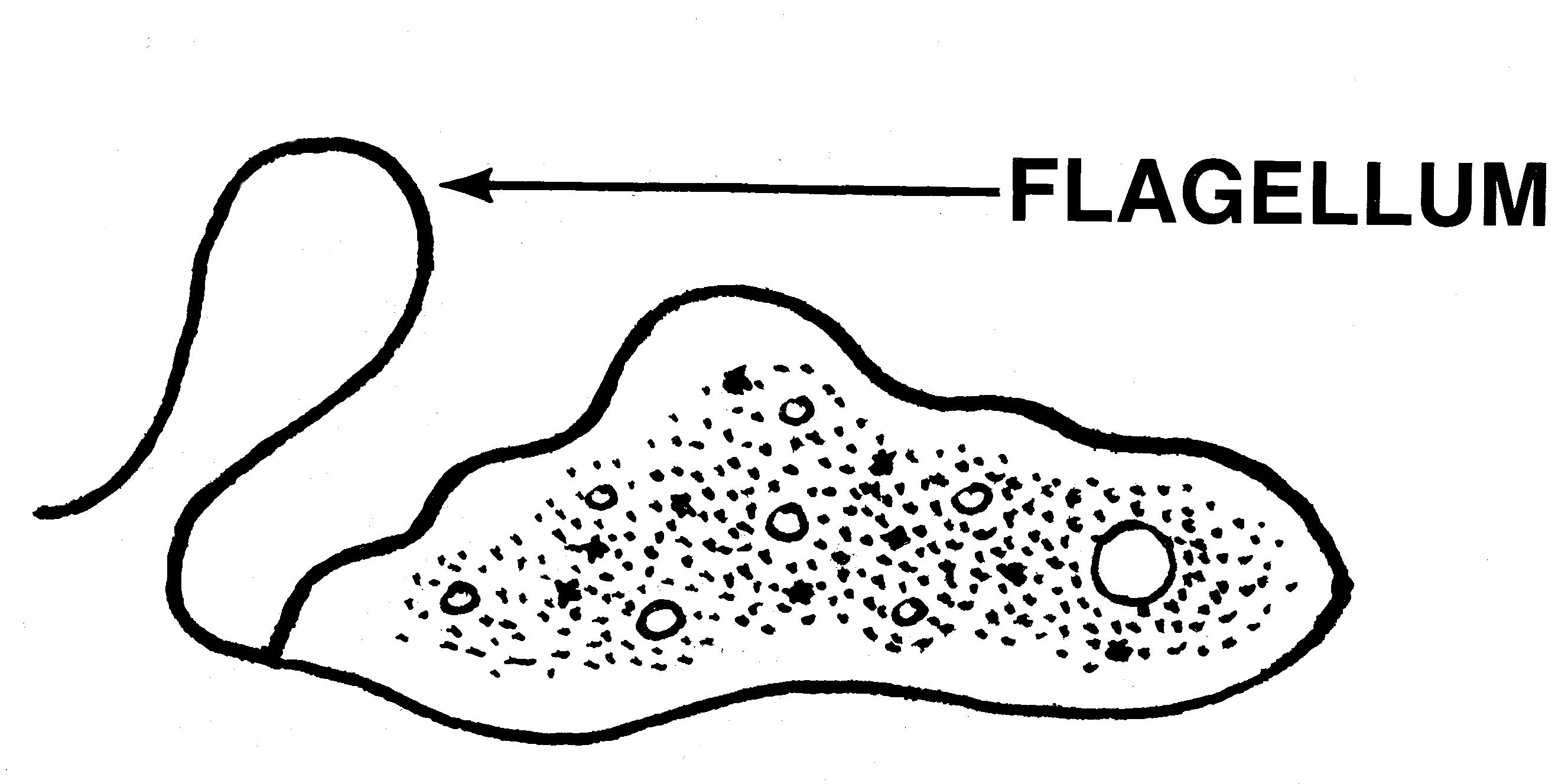 Monotrichous flagellum