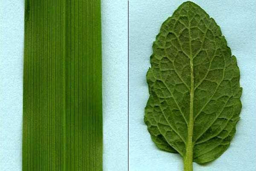 Parallel Venation Leaves & Plants | Parallel Venation Examples